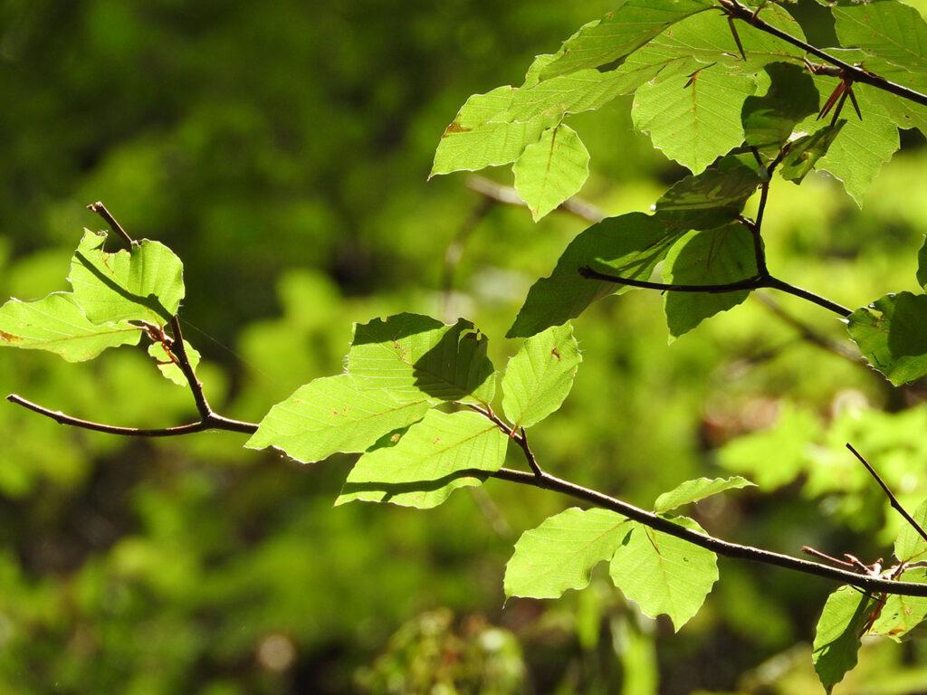 Gren med groenne boegeblade