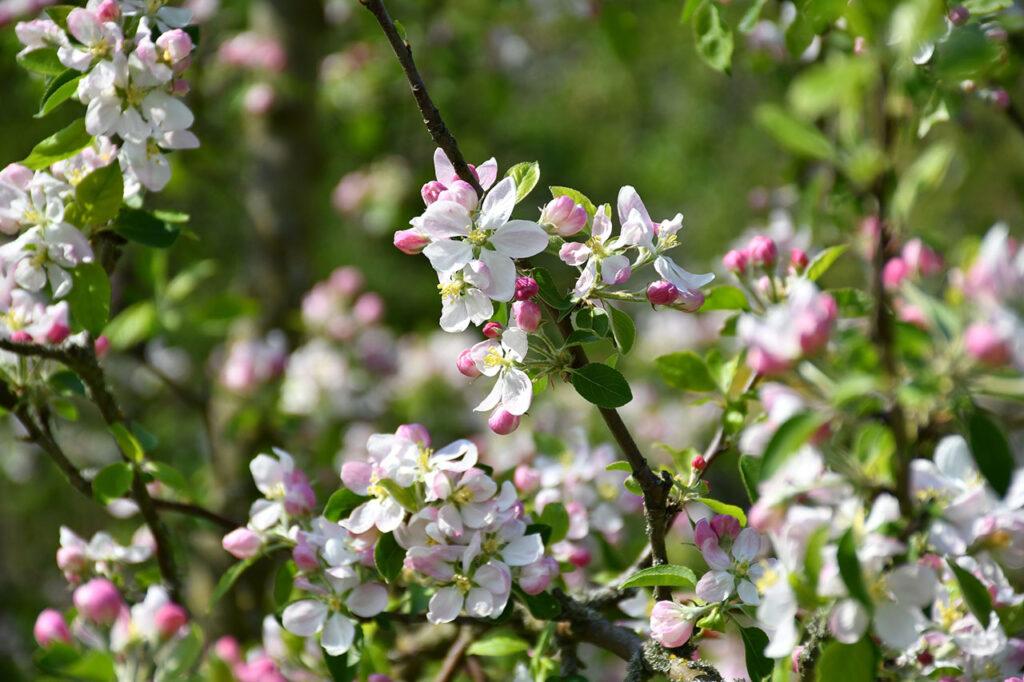 Blomstrende grene paa frugttrae